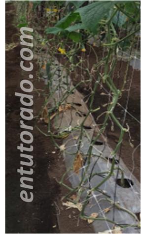 malla espaldera en cultivo con pepino