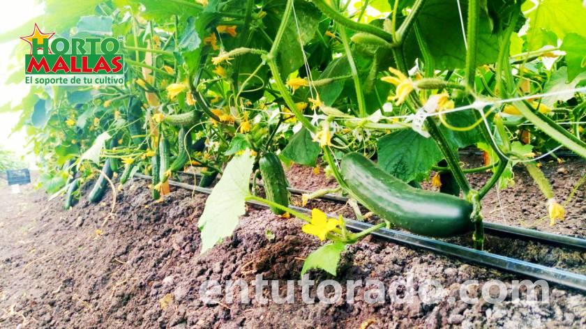 En tutorado de malla espaldera en cultivo de pepino