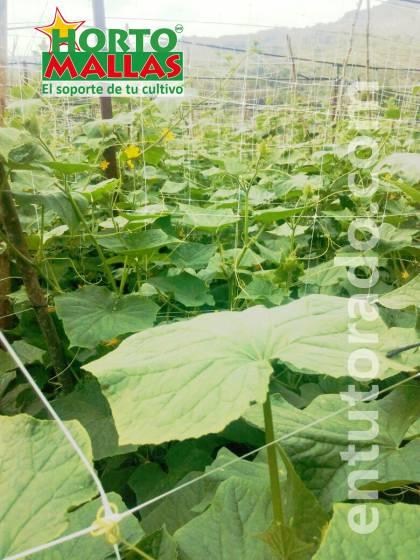 Cultivo de pepino en campo abierto