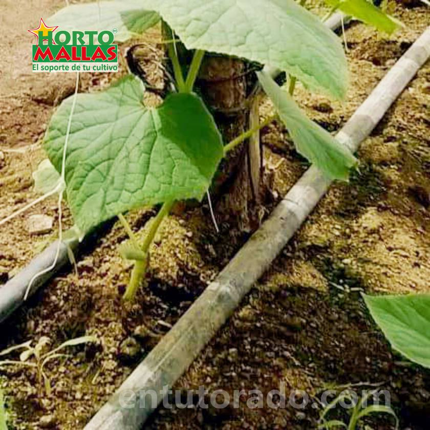 Cultivo de pepino en invernadero con fertirriego