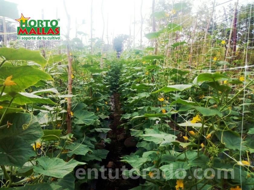 El entutorado en hortalizas con malla espaldera aumenta la cosecha
