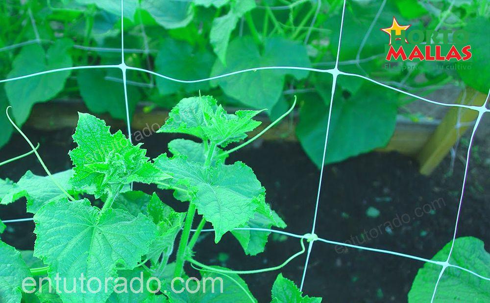 Implementación de malla tutora en cultivo de pepinos.