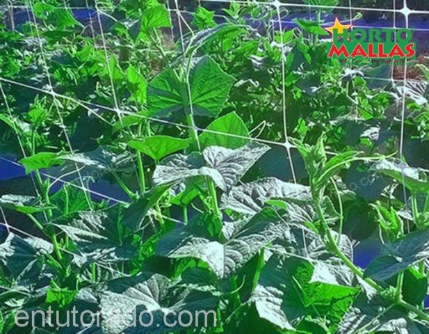 Uso de malla para entutorar en cultivo de pepino
