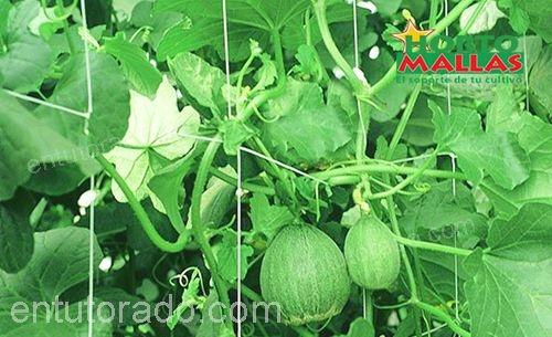 malla tutora en cultivo de calabaza