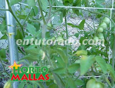 Malla HORTOMALLA en cultivo de tomates